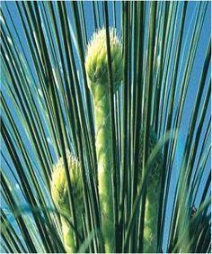 Goddess grasstree