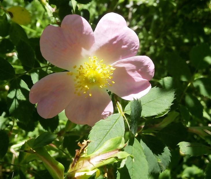 Wid Rose_20160704_130029