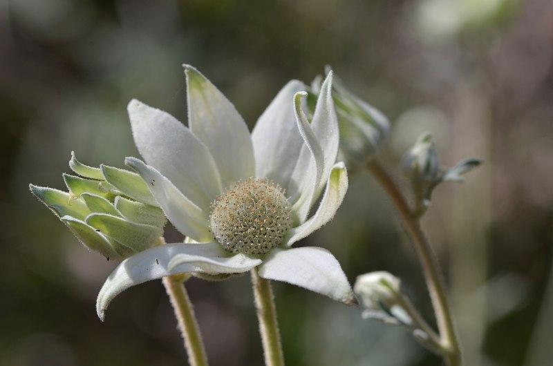Flannel Flower (Flor defranela)