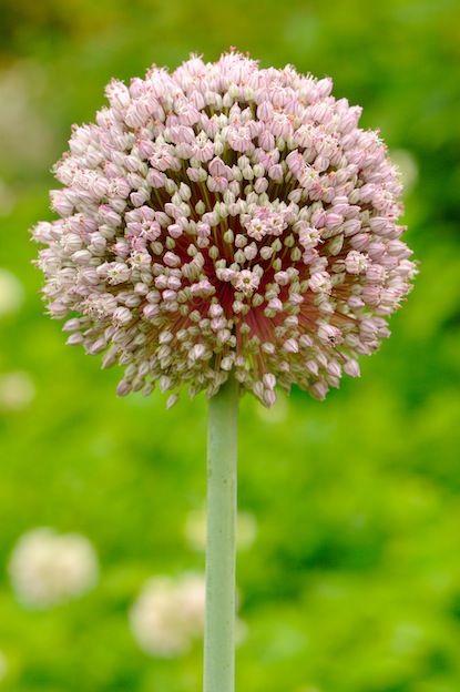 alium sativum-garlic