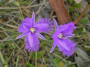 Dos Fringed Violets Amaparo