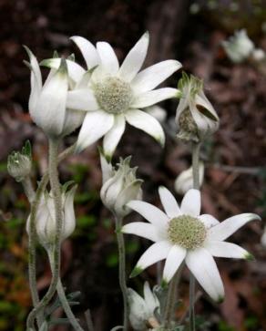 flannel-flower-1