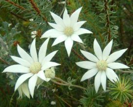 Flannel Flower Amaparo