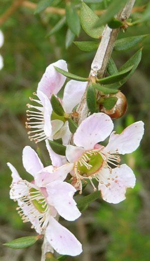 Leptospermun aquarrosum clarito