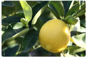 Limón-aceite esencial