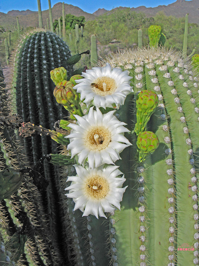 saguaro-flowers-and-bees-allan-sorokin