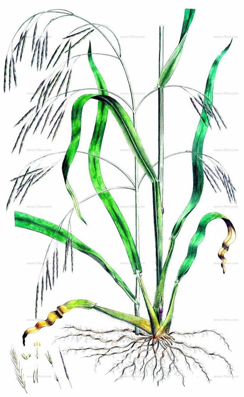 bromus ramosus.jpg