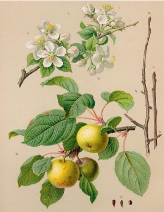 Crab apple