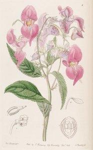 impatiens botánica