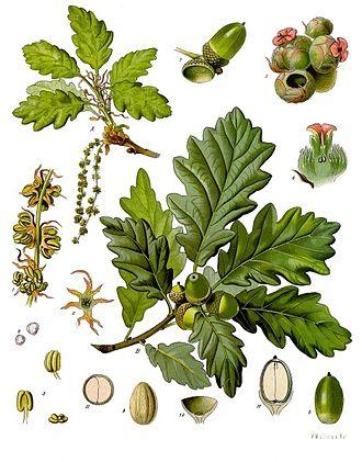 Quercus_