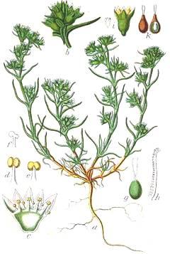 ScleranthusAnnuus