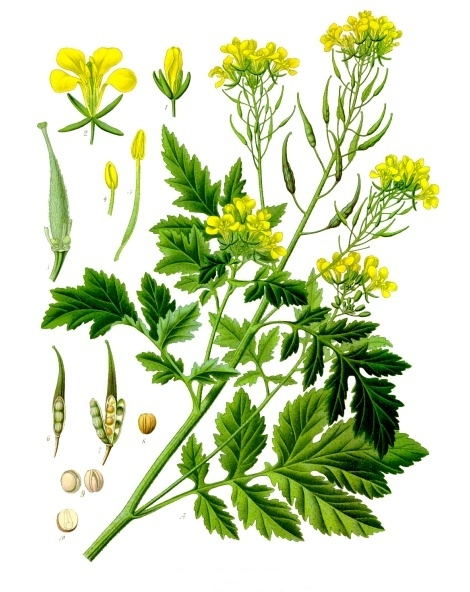Sinapis_alba_-_Köhler–s_Medizinal-Pflanzen-265