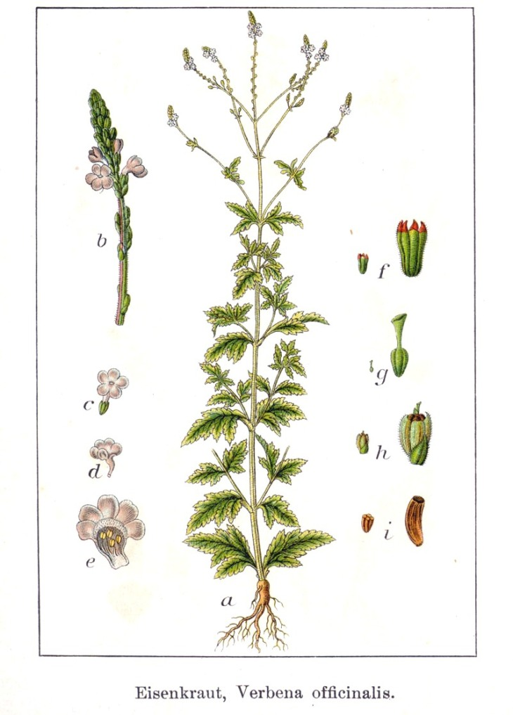 Verbena officinalis Vervain