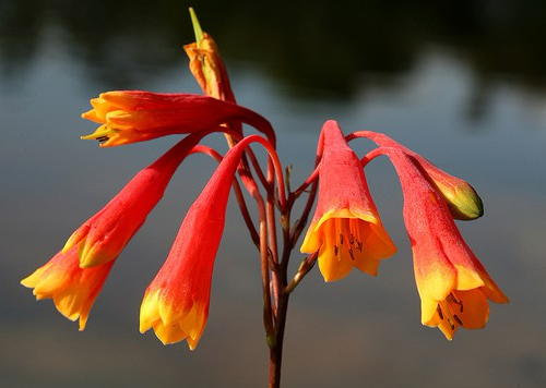 christmas bells - Australian Bush
