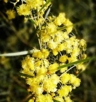 Sunshine wattle - Bush