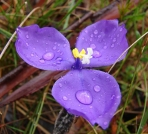 Bush Iris - Patersonia_sp