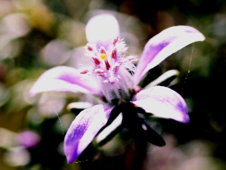Philotheca salsifolia