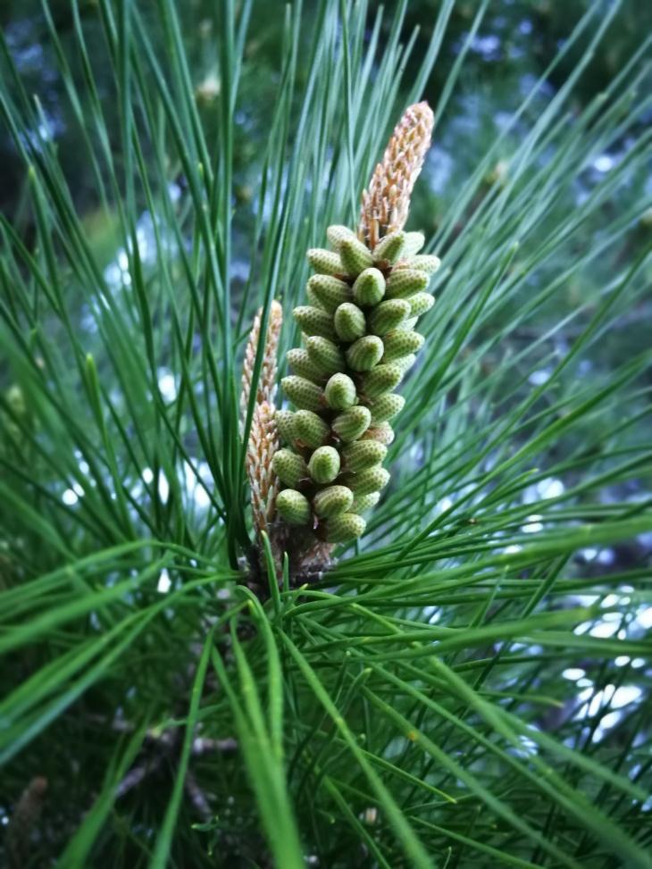 Pine_20180128_165112.jpg