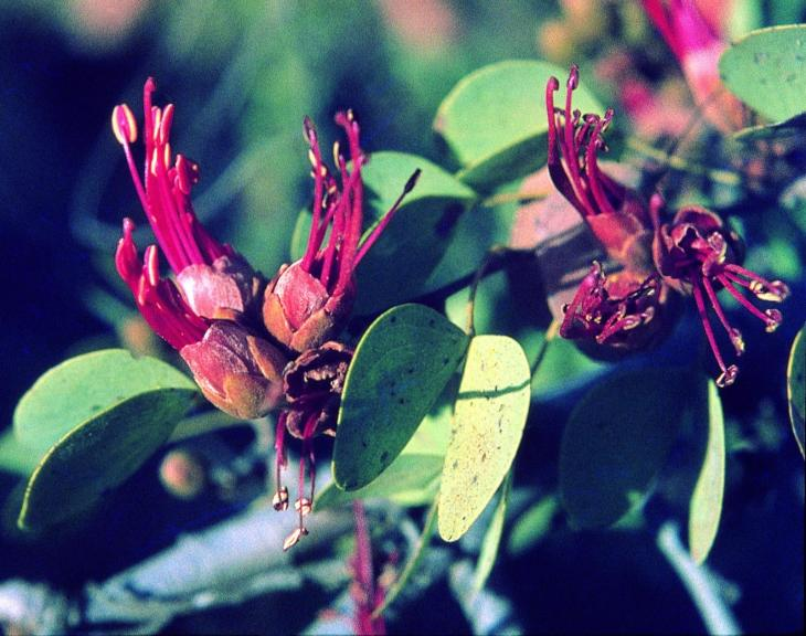 Bauhinia Lysiphyllum cunninghamii
