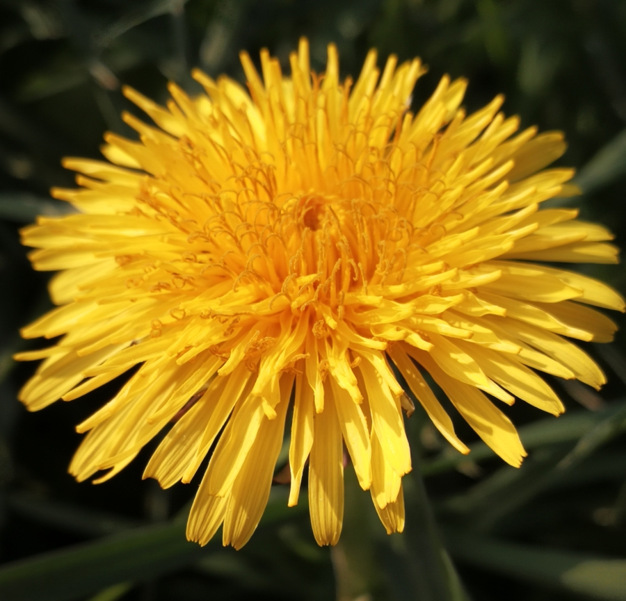 Dandelion (Diente de león, Meacamas, AchicoriaAmarga)
