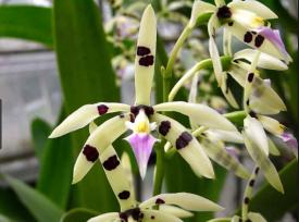 Epidendrum prismatocarpum