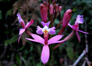 Epidendrum_secundum_-_Peru