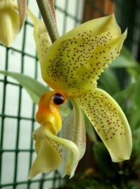 orquidea chocolate