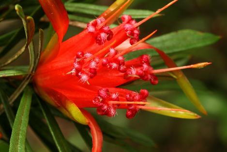 LambertiaFormosa.png
