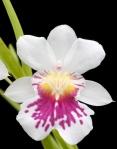 Miltoniopsis phalaenopsis 'Golden Gate'