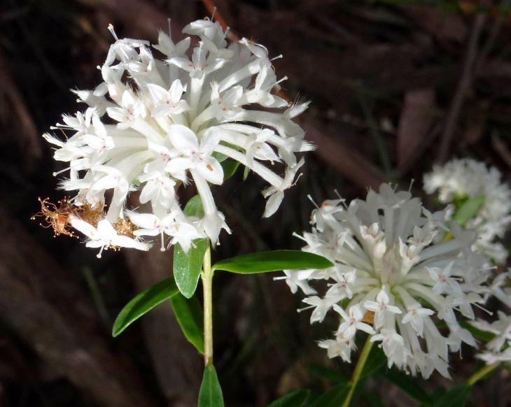 Pimelea-linifolia.jpg