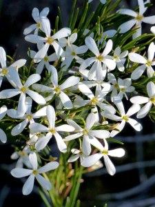 Ricinocarpos-pinifolius-main