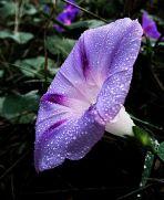 BlueMorningGlory-Ipomoea Purpurea