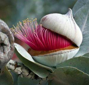 flor eucalipto abriendose