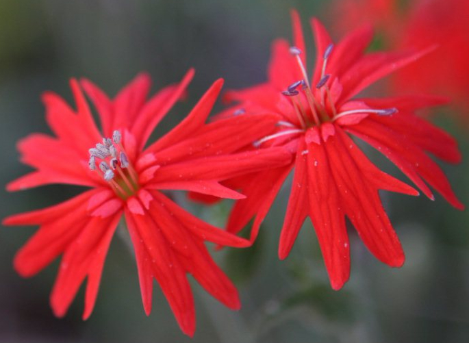 indian-pink-california.jpg