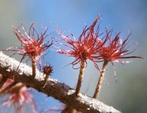 she-oak-casuarina-glauca