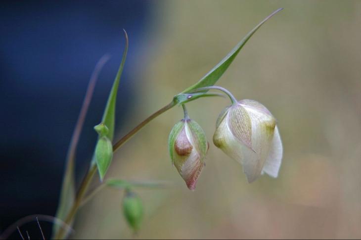 1200px-Calochortus_albus_flowers