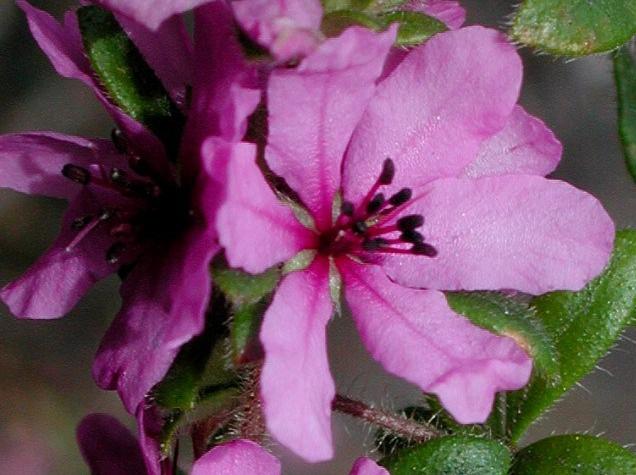 baverasessiliflora.jpg