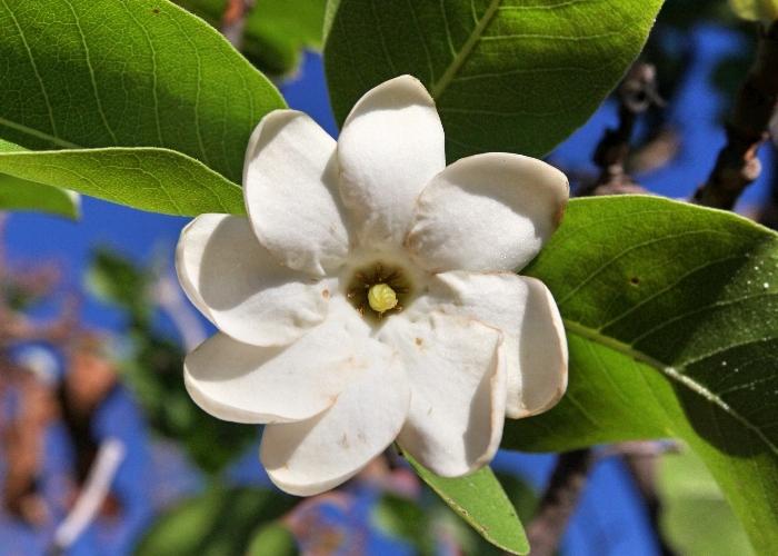 Bush Gardenia (GardeniaSilvestre)