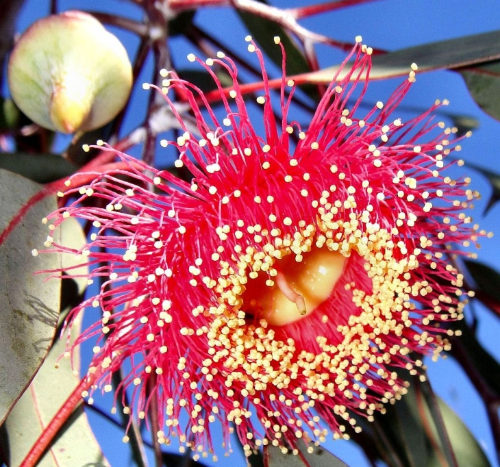 EucalyptusCaesia_3df8bcc927_b