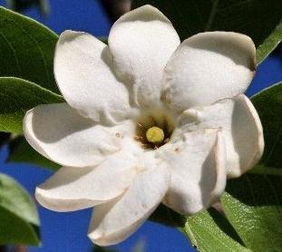 gardenia-megasperma-e1525780627867.jpg