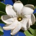 Gardenia megasperma
