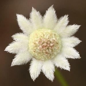little-flannel-flower-photo
