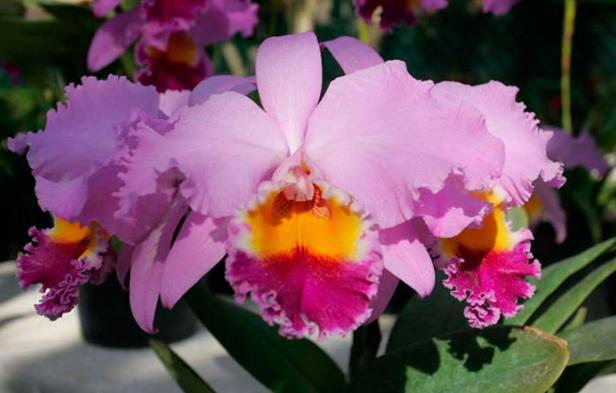 orquidea flor de mayo