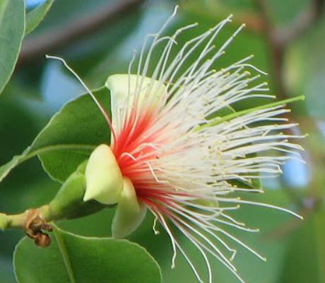 Planchonia Careya