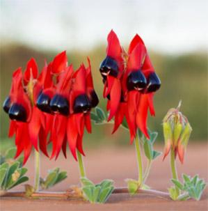 Sturt-Desert-Pea-Floral-Emblem-South-Australia