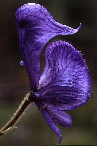 Monkshood (Acónito, Matalobos)