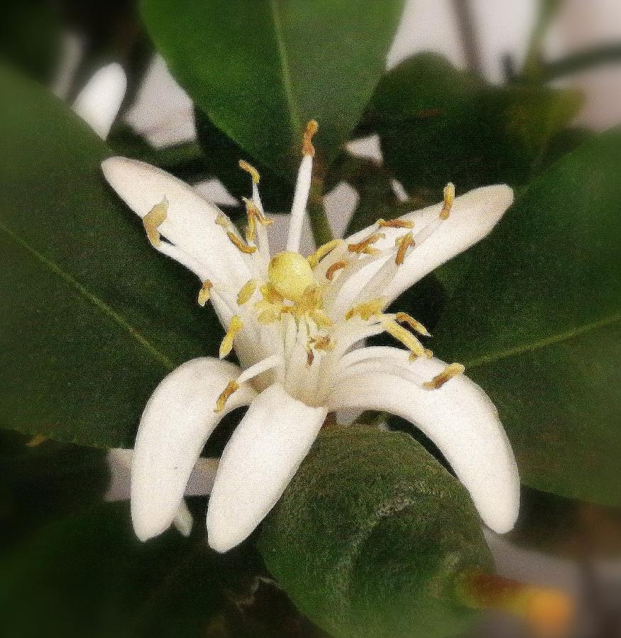 Lemon (Flor deLimonero)