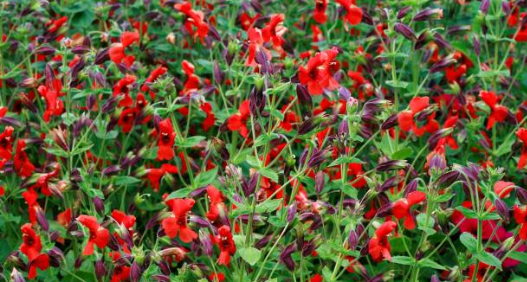 scarlet-monkeyflowers-jpg.png
