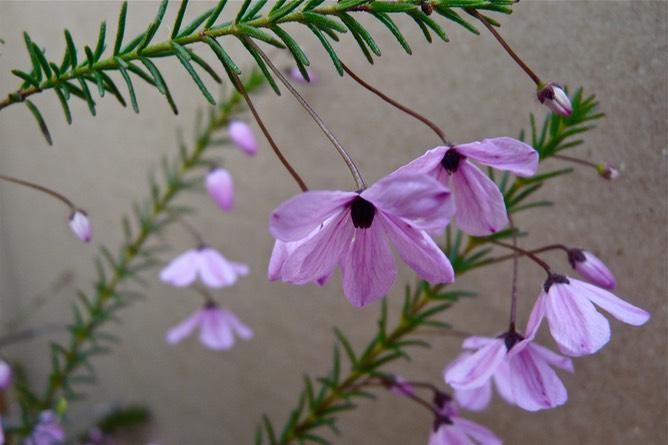 tetratheca-ericifolia-2_med-2
