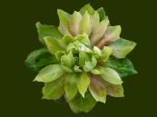 Viridifolia_Green_Rose